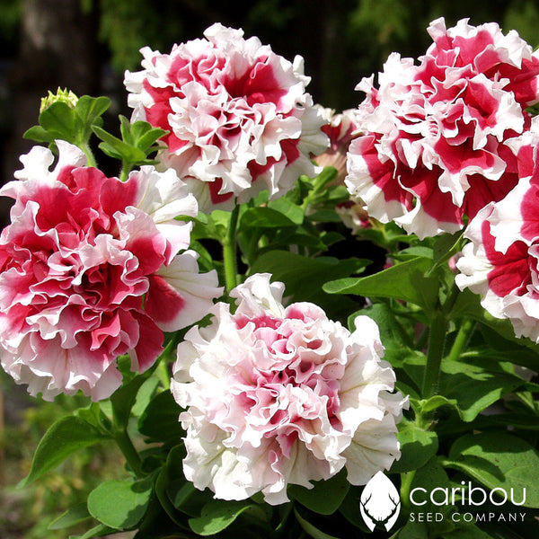 cascade petunia - red pirouette - Caribou Seed Company