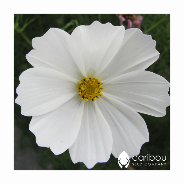 cosmos 'purity' - Caribou Seed Company