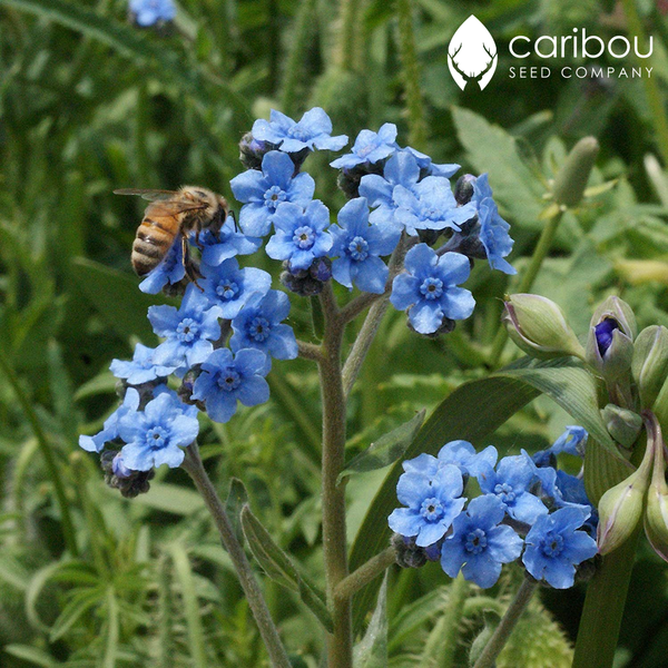 chinese forget-me-not - Caribou Seed Company