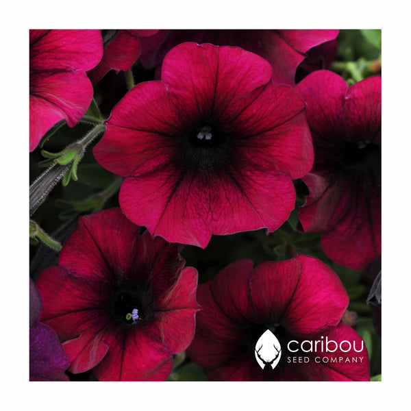easy wave petunia - burgundy velour - Caribou Seed Company