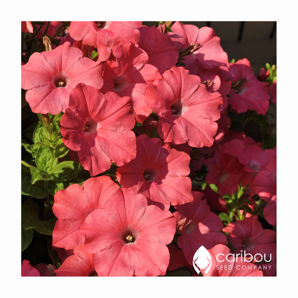 easy wave petunia - coral reef - Caribou Seed Company