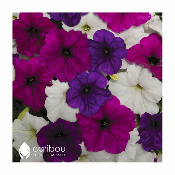easy wave petunia - great lakes mix - Caribou Seed Company