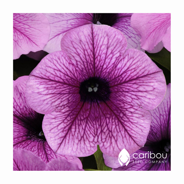 easy wave petunia - plum vein - Caribou Seed Company