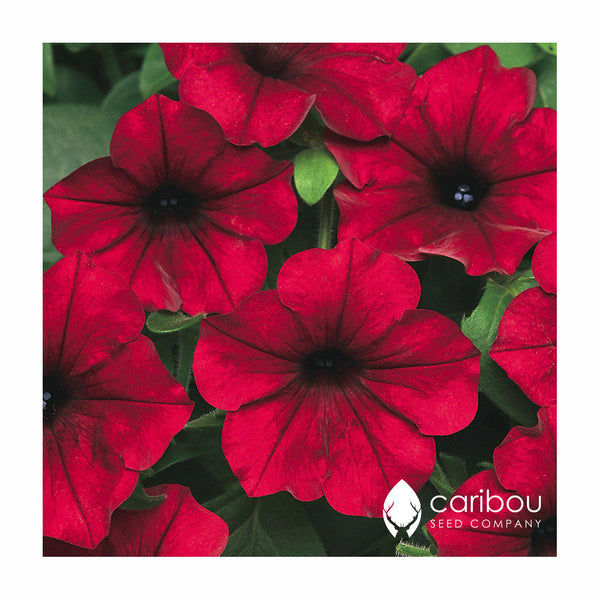 easy wave petunia - red velour - Caribou Seed Company