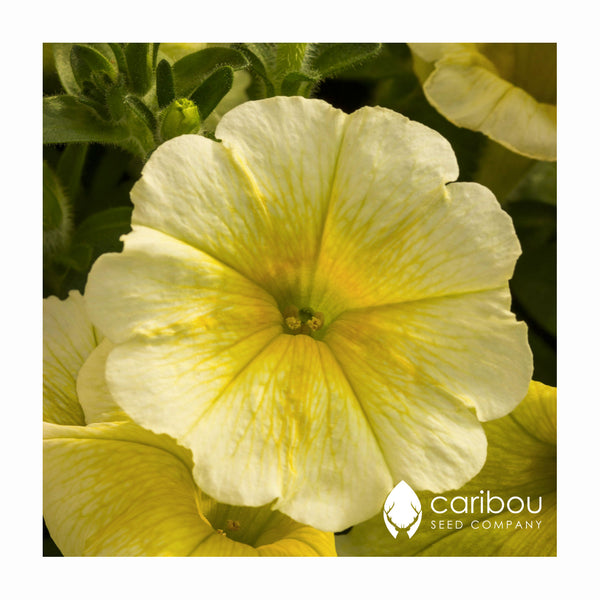easy wave petunia - yellow - Caribou Seed Company