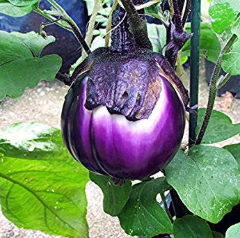 eggplant 'italian pink bicolor' - Caribou Seed Company