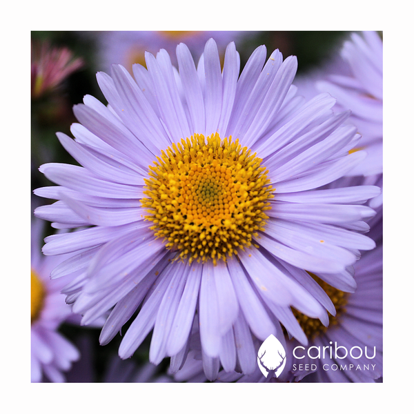 aster - new england