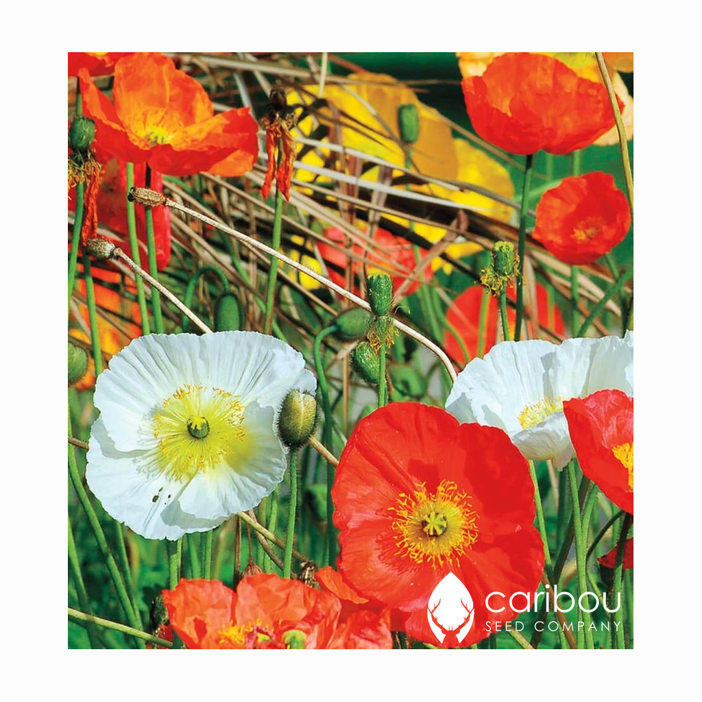 poppy - california 'mission bells' - Caribou Seed Company