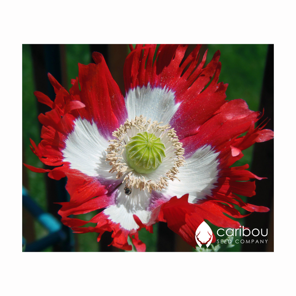 poppy - canadian flag - Caribou Seed Company