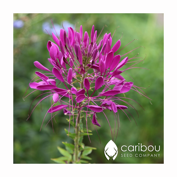 cleome 'purple queen' - Caribou Seed Company