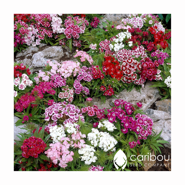 sweet william - Caribou Seed Company