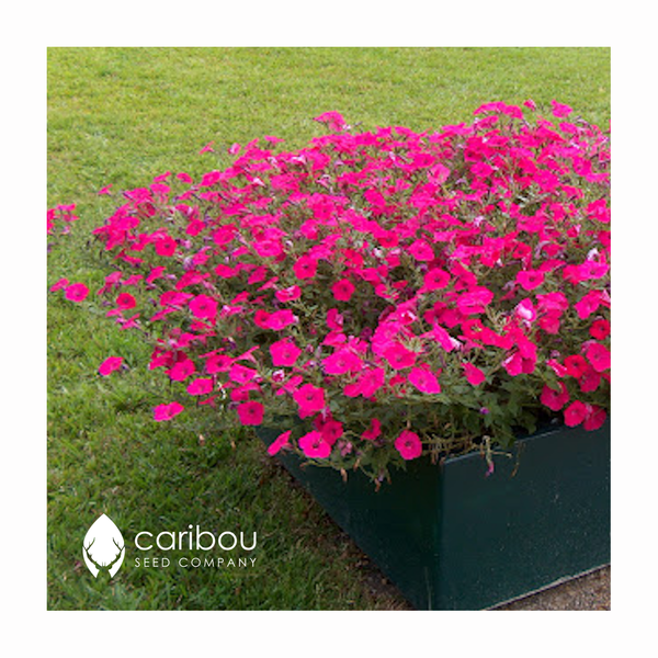 tidal wave petunia - hot pink - Caribou Seed Company