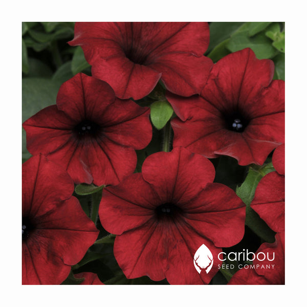 tidal wave petunia - red velour - Caribou Seed Company