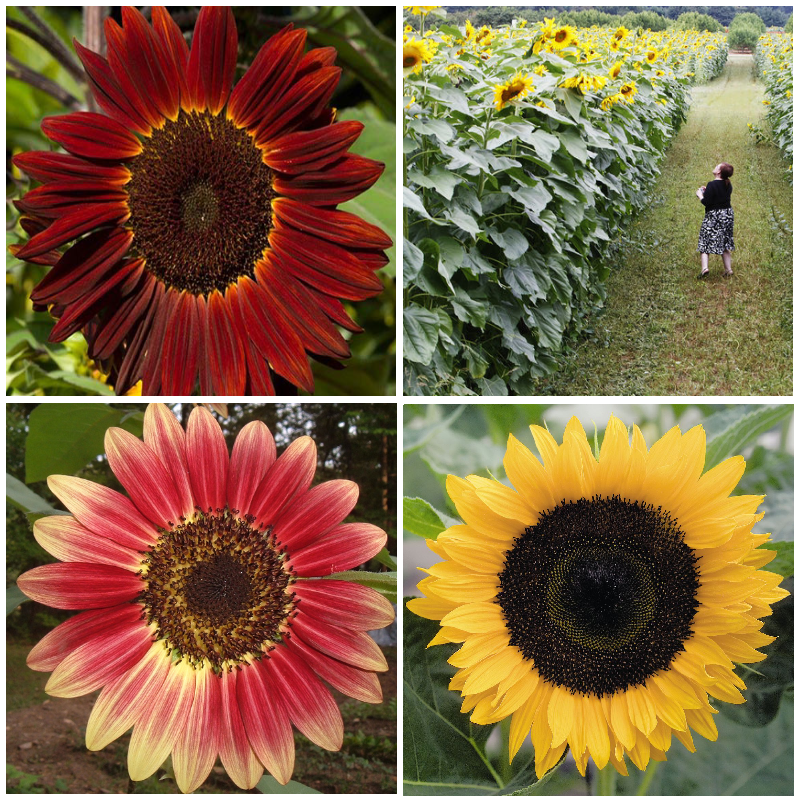 striking sunflowers seed kit