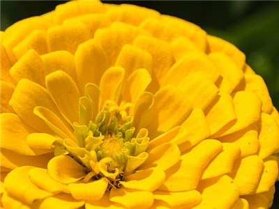 zinnia - canary yellow