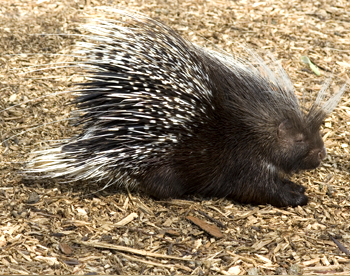 Porcupine Quills Natural