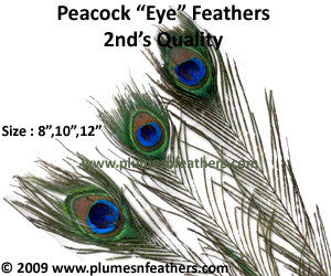 "Nat. Peacock Feather 40""/50"" Second's"