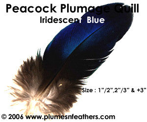 "Peacock Blue Iridescent Quills 2""/3"""