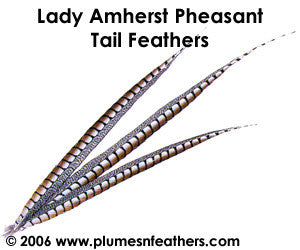 "Lady Amherst Nat. Sidetail 30""/32"""
