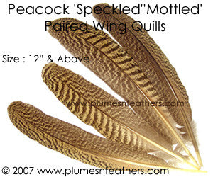 "Peacock Mottled Wing Quills 12""Up"