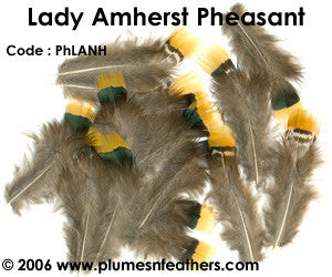 Lady Amherst Plumage 'C'