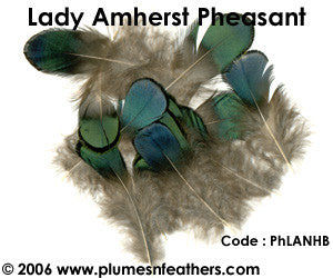 Lady Amherst Plumage 'A'