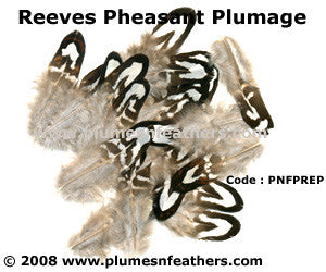 Reeves Plumage 'A'