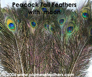 "Nat. Peacock Feather 45"" and Up"