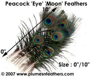 "Nat. Peacock Feather 5""/10"""