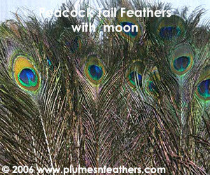 "Nat. Peacock Feather 40""/45"""