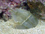 Horseshoe Crabs are a very good addition to a reef.
