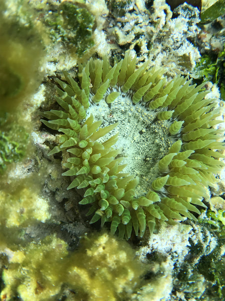 This is one variation of a Green Flower Anemone