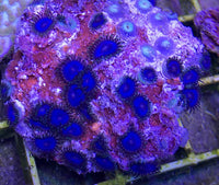 Zooanthids, Blue - Zooanthis sp.