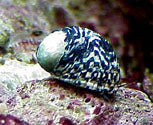 Nerite Snail - Nerita tesselatta - Great for Algae control