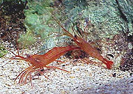 Shrimp, Peppermint - Lysmata sp.
