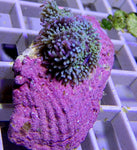 Ricordia, Purple-Green on Clam Shell - WYSI  VVST WYG