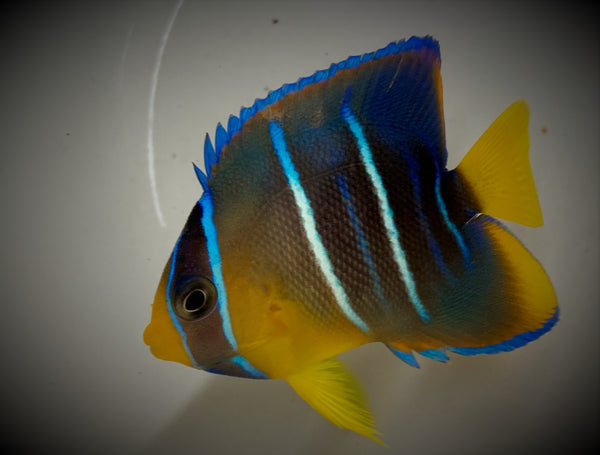Angel Fish, Small Blue -Holacanthus bermudensis