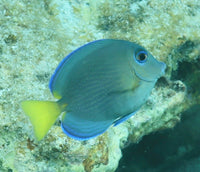 Juvenile Tang with adult colors
