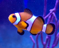 Ocellaris Clown, Captive Bred -