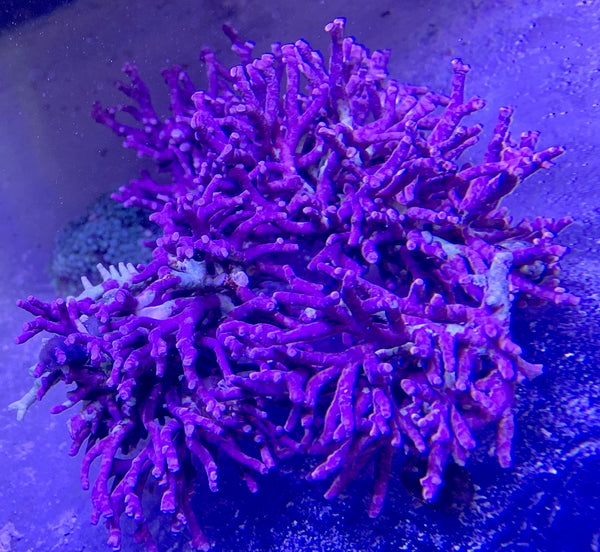 Purple Coraline Algae  (3 Lot)