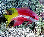Hogfish, Cuban