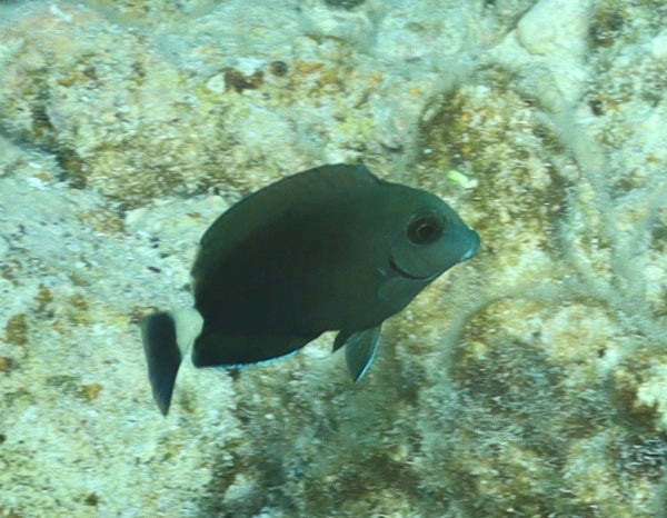 Tang, Atlantic Surgeon - Acanthurus sp