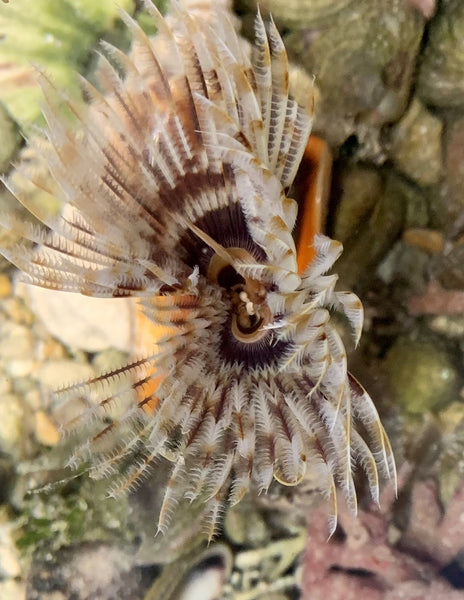 Caribbean Feather Duster - Family Serpulidae