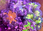 Flower Anemone, Ultra- Epicystis crucifer (6 Pack)