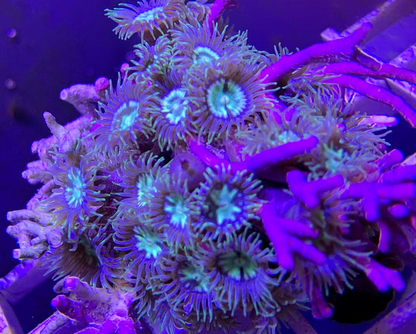Zooanthids, Green Fringed Starter colony - Zooanthis sp.