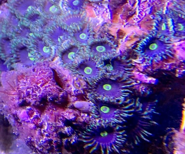 Zooanthids, Purple Variegated - Zooanthis sp.