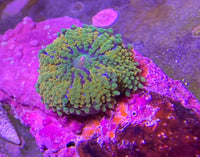 Ricordia, Orange on Clam Shell -