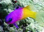 Royal Grammas are a perfect addition to a reef aquarium.