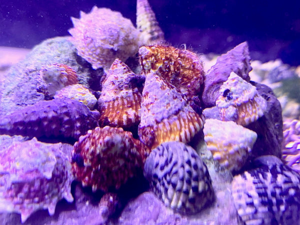 The Algae Control Critters Special - 80 Reef Cleaners