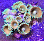 Zooanthids, Sun Polyp Starter colony - Zooanthis sp.